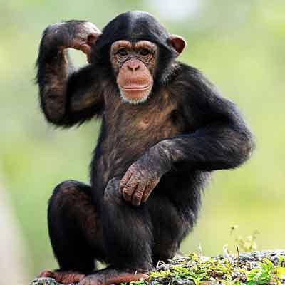 第三種黑猩猩(上)